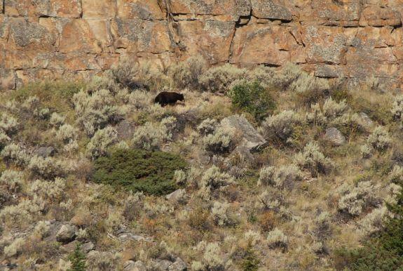 bear_at_palisades