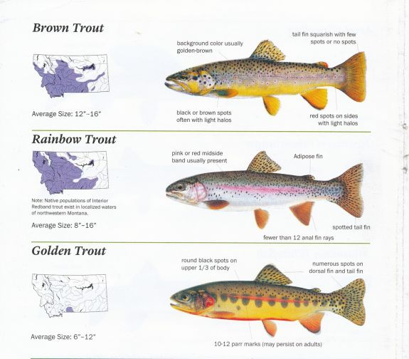 brown_rainbow_golden_trout