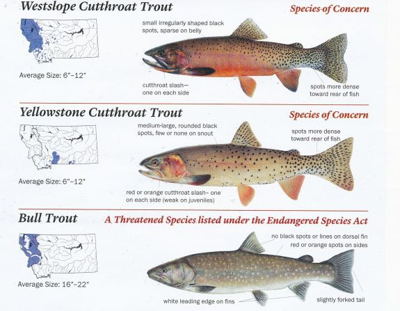 cutthroat_bull_trout