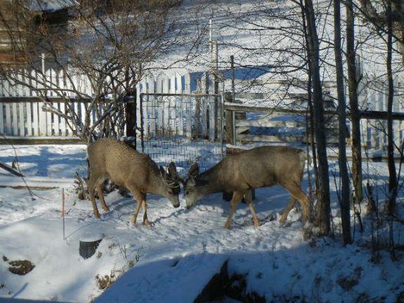 deer_fight_005