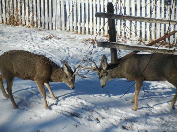deer_fight_007