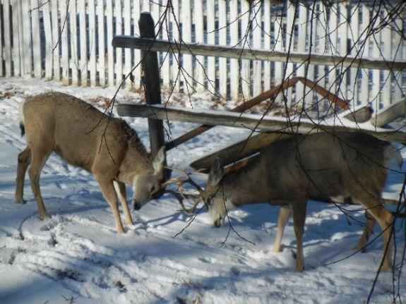 deer_fight_010