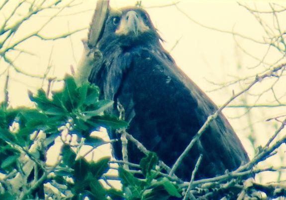 eagle_chick_4
