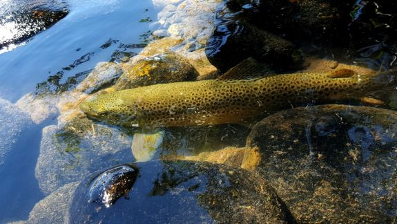 madison_river_brown_6