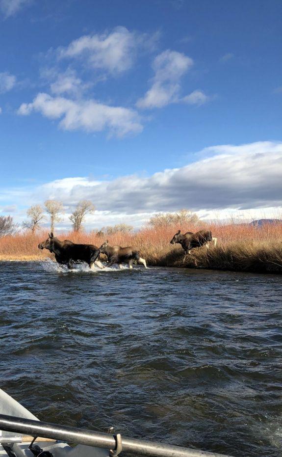 moose_crossing_1