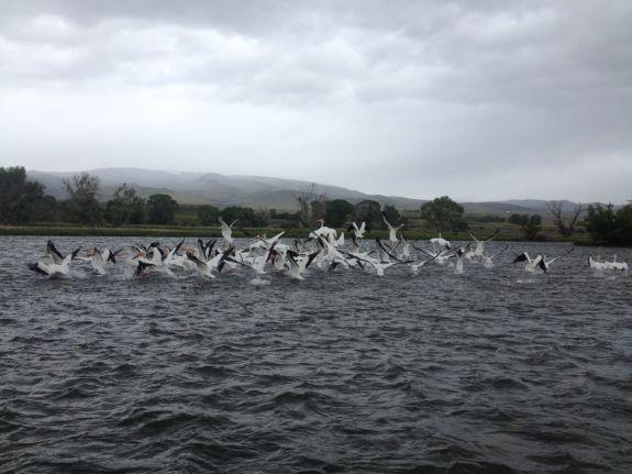 pelicans_001