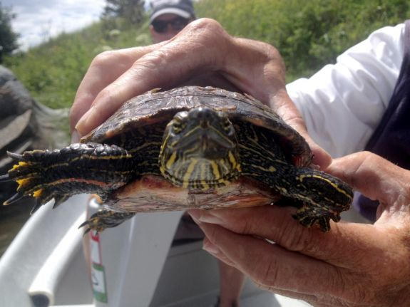turtle_7-11-15_013